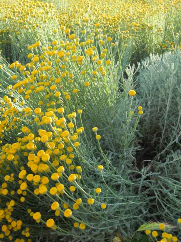 Santolina chamaecyparissus v 1