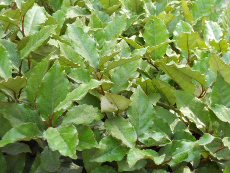 Elaeagnus commutata hojas 2