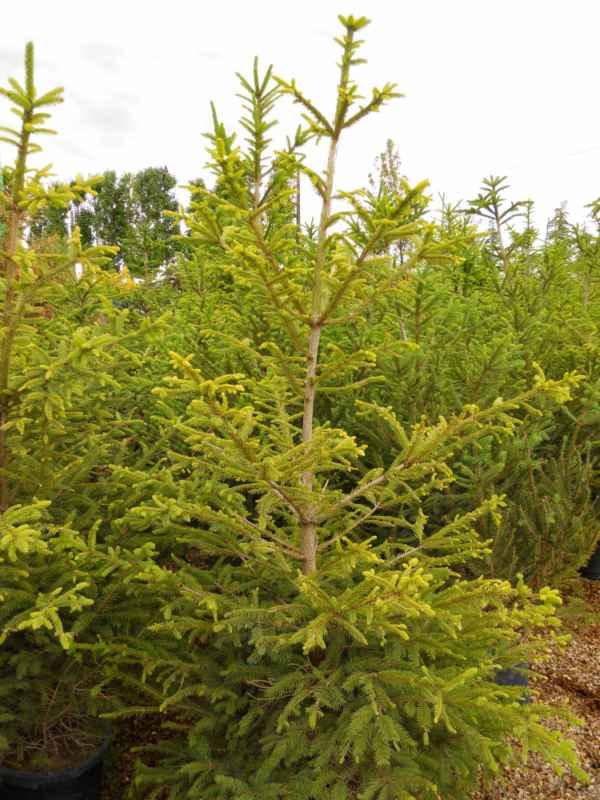 Picea abies 'Excelsa' v 1
