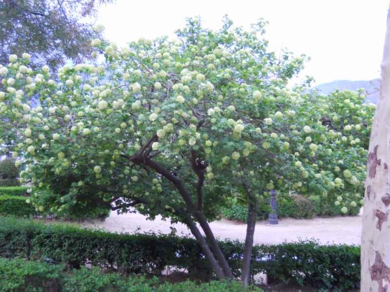 Viburnum opulus 'Roseum' árbol 1
