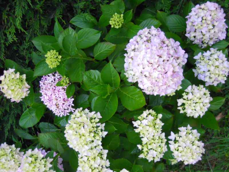 Hydrangea macrophylla 5