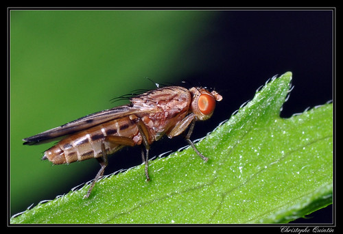Opomyza petrei femelle