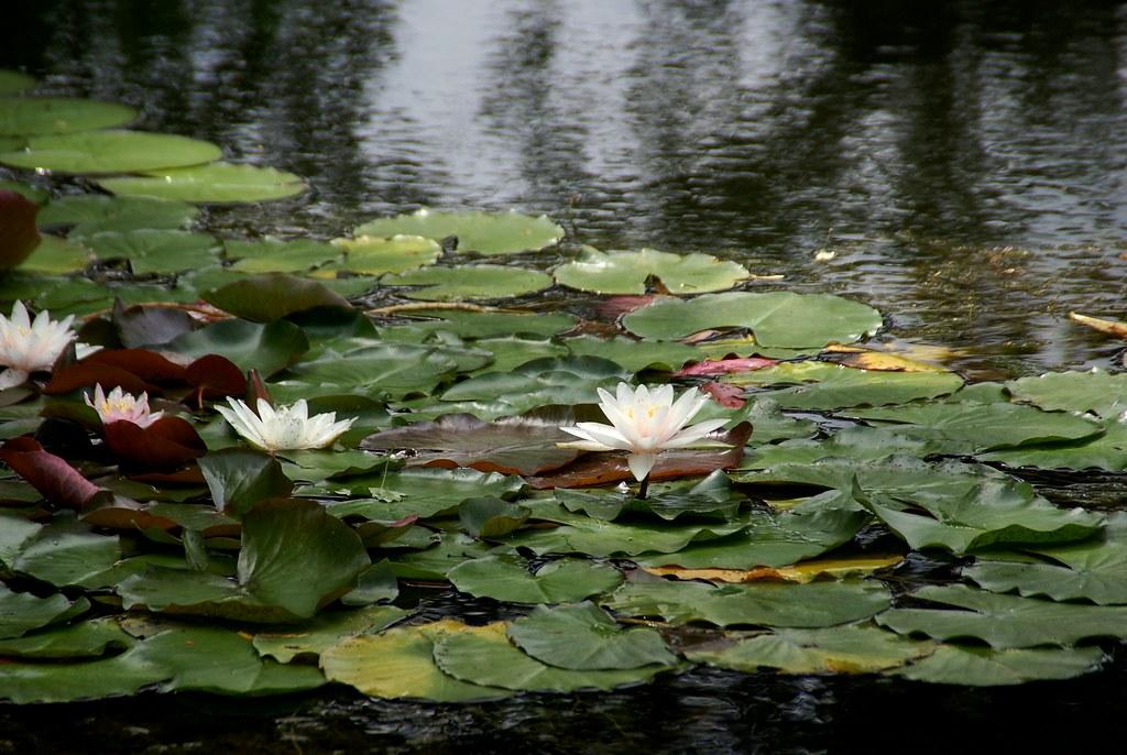 Frankfurt, Koreanischer Garten, Seerosen (Korean Garden, water lilies) Modell