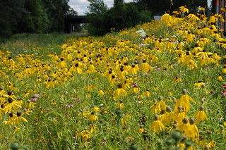 Field of black-eyed susans | by jonbloy