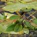 Flickr photo 'Potamogeton natans (48°08' N 16°36' O)' by: HermannFalkner/sokol.