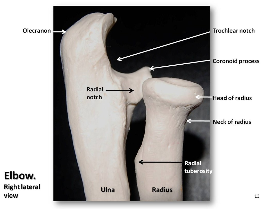 bone diagrams to label bones of the elbow  lateral view with labels appendicula  bones of the elbow  lateral view with labels appendicula