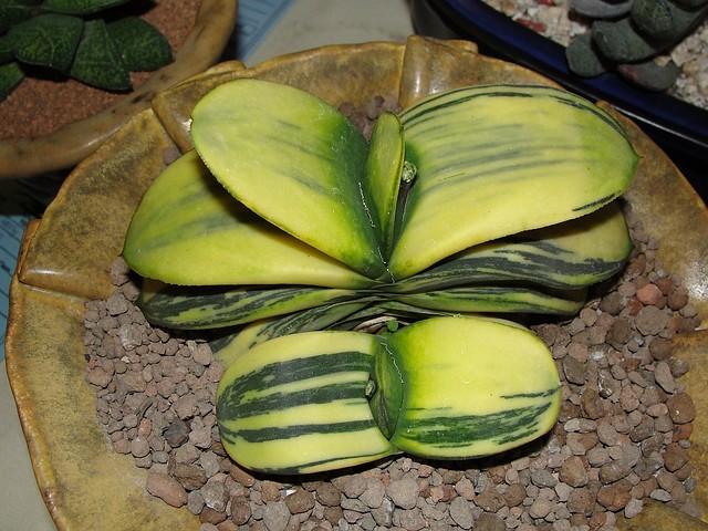 Melon colored Gasteria
