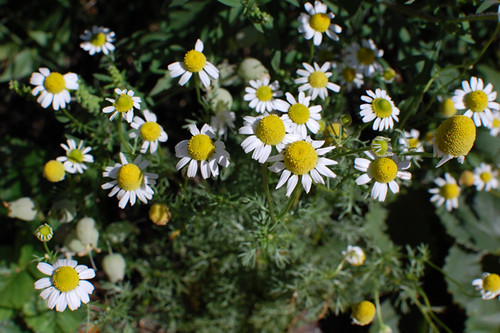 chamomile | by Justin Snow