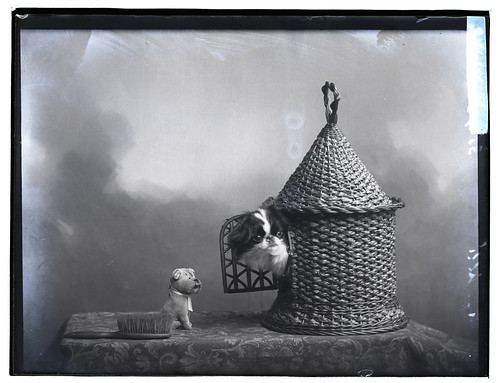 Mitchel, dog, nd   by David Knights-Whittome Photographic Archive
