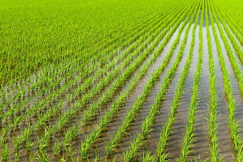 fukui japan 2015 m9 miyama rice japancountry stripes growth