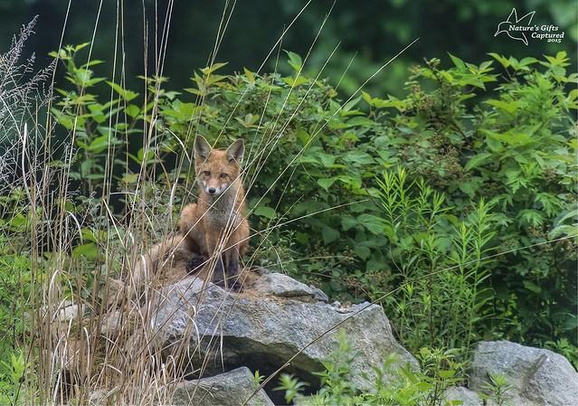 Fox Kit 6/15