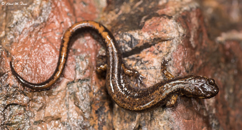 Dunn's Salamander (Plethodon dunni) | by Chad M. Lane