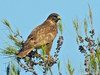 Bútio-comum // Common Buzzard (Buteo buteo) by Valter Jacinto | Portugal
