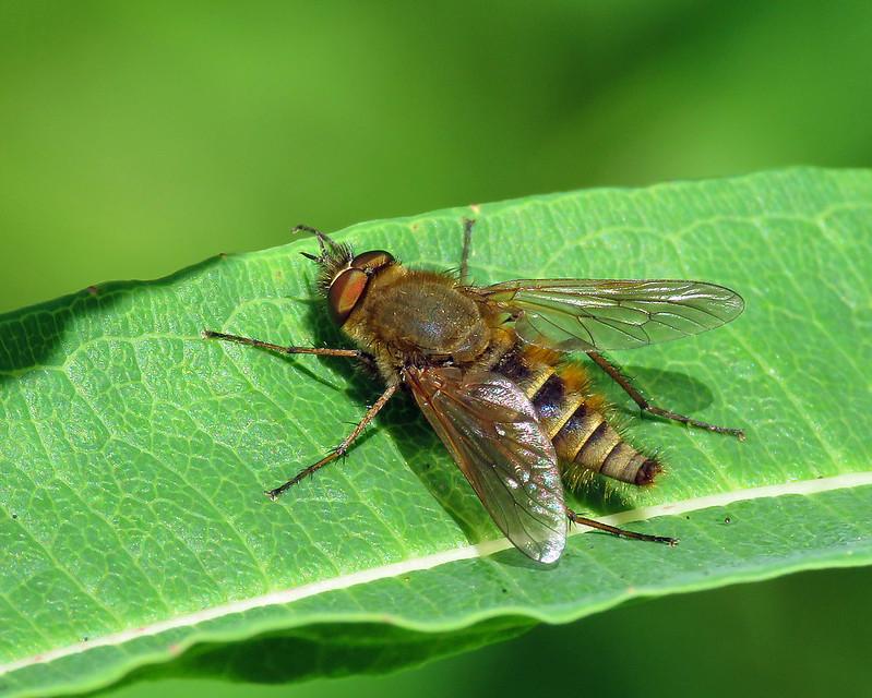 Common Stilletto - Thereva cf. nobilitata