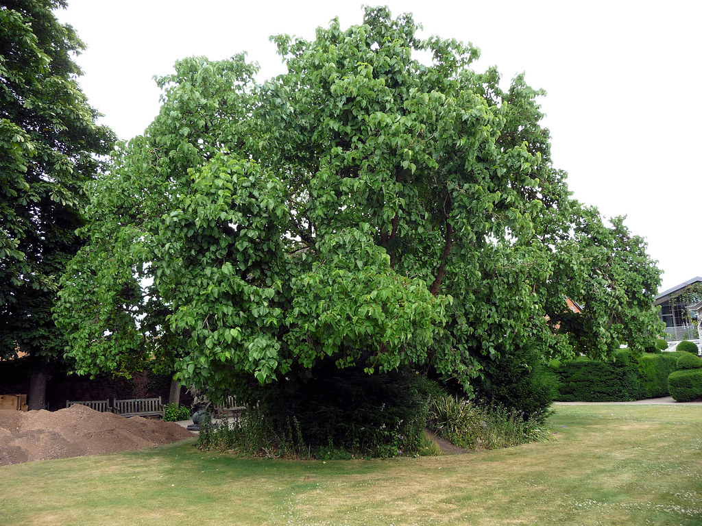 70b5078ca2 Black Mulberry - Morus nigra | This ancient mulberry at Stra… | Flickr