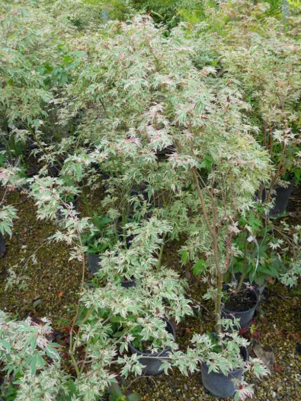 Acer palmatum 'Butterfly' v 1.jpg