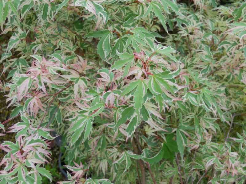 Acer palmatum 'Butterfly' 2.jpg