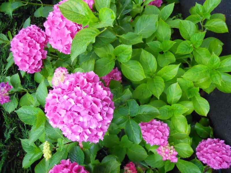 Hydrangea macrophylla 3