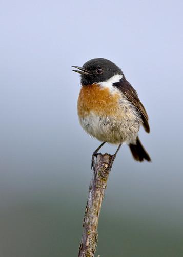 kh0831 ireland avianexcellence specanimal supershot birdphoto bird saxicola rubicola hibernans saxicolarubicola saxicolarubicolahibernans