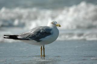 Sea Gull-0605   by MSMcCarthy Photography