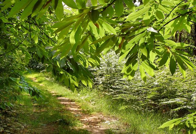 Le petit chemin - Forêt de Bessède (Dordogne)