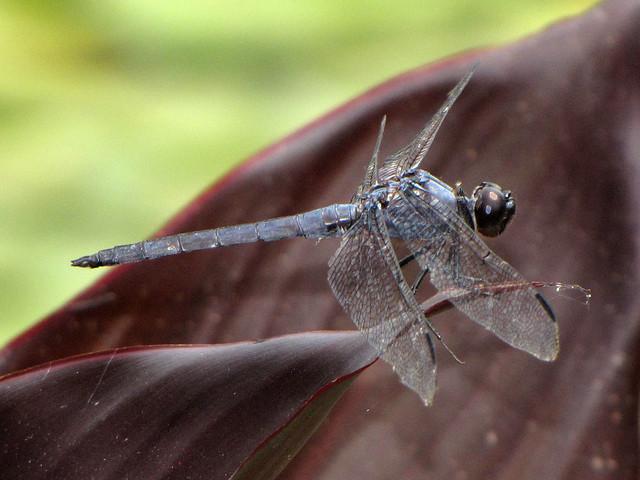 Slaty Skimmer Male