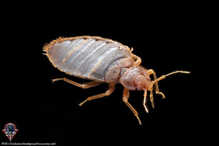 Adult male of the common bed bug, Cimex lectularius L | by Armed Forces Pest Management Board