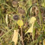 Flora campagnola