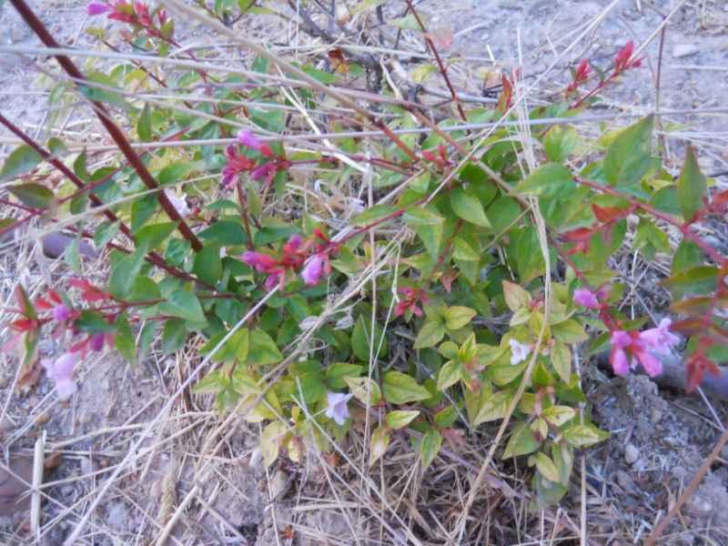 Abelia grandiflora 3