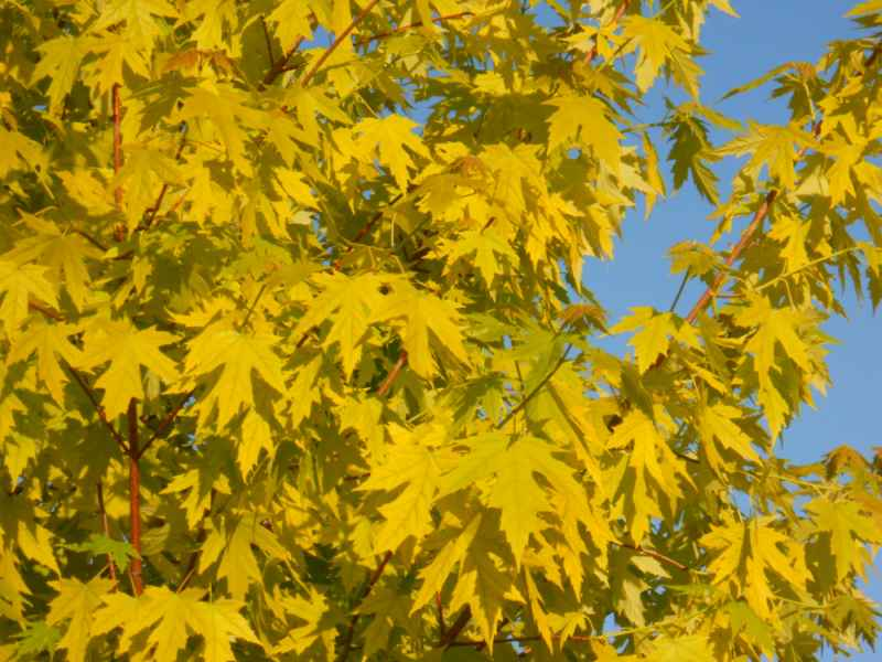 Acer pseudoplatanus 'Brillantissimum' detalle 1