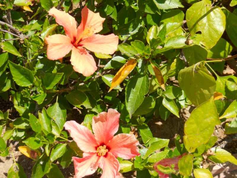 Hibiscus rosa sinensis 'Herma Garett' 1