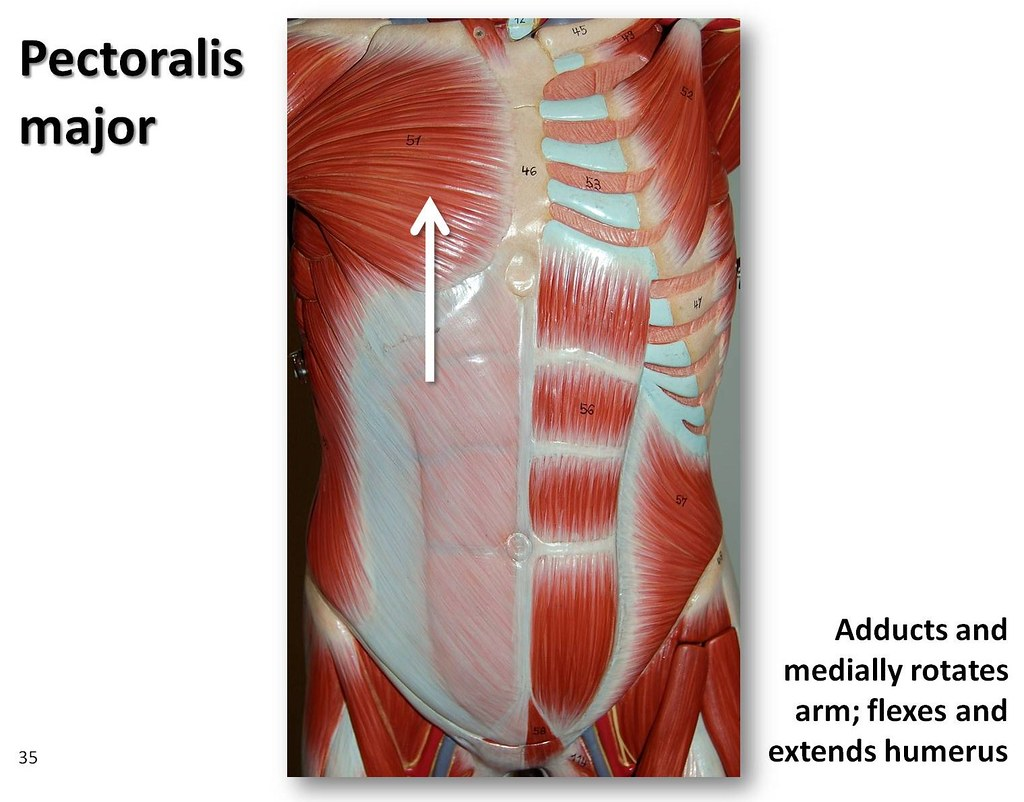 pectoralis major - muscles of the upper extremity visual atlas, page 35  | by rob