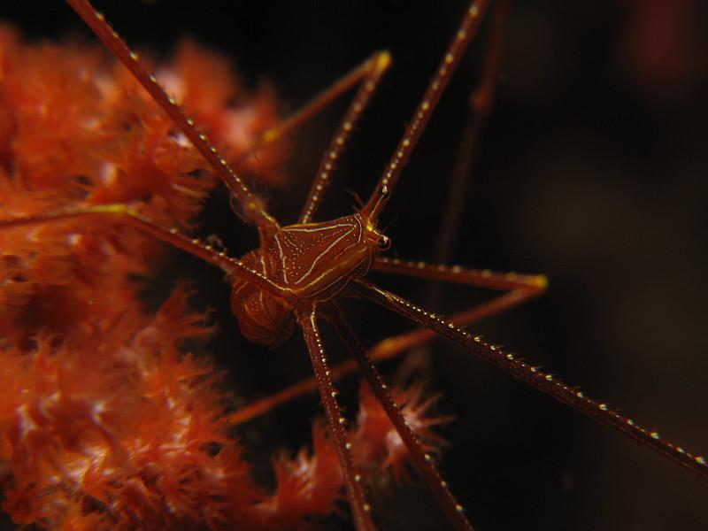 Squat Lobster - Chirostylus Dolichopus