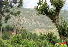 Plantações de Erva-Mate