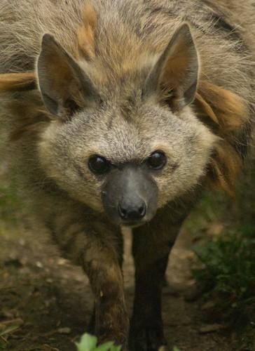 Aardwolf (Proteles Cristata), Hamerton Zoo | by spencer77