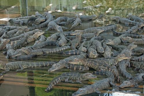 Mucchio di alligatori