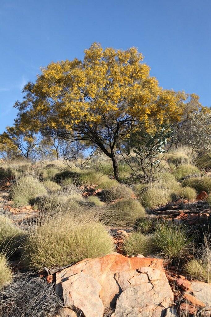 Mulga Acacia Aneura Tree At Arltunga Historical Reserve Flickr