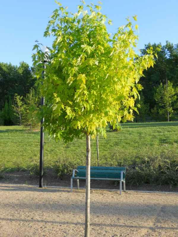 Acer pseudoplatanus 'Brillantissimum' árbol v 3