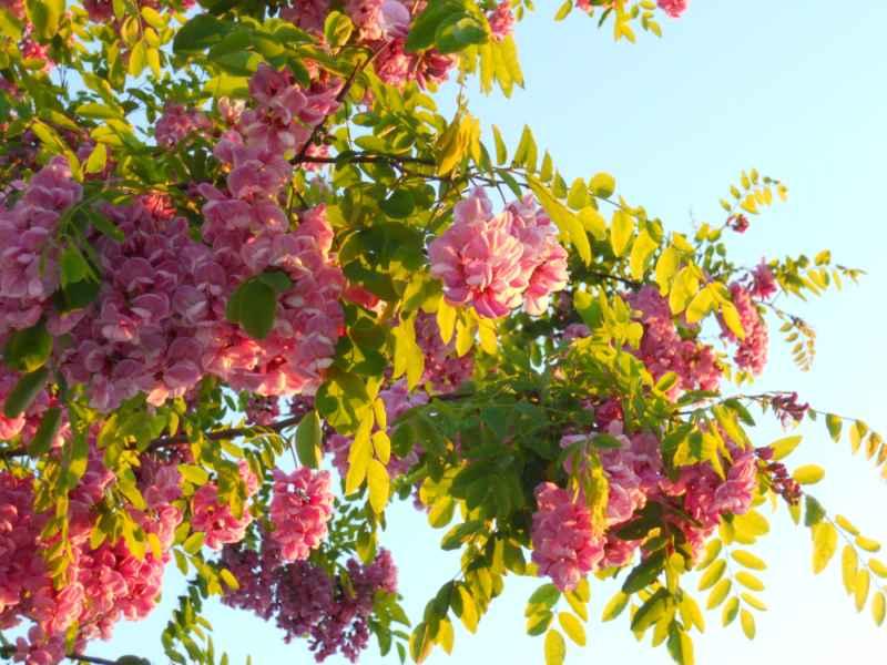 Robinia pseudoacacia 'Casque Rouge' detalle 2