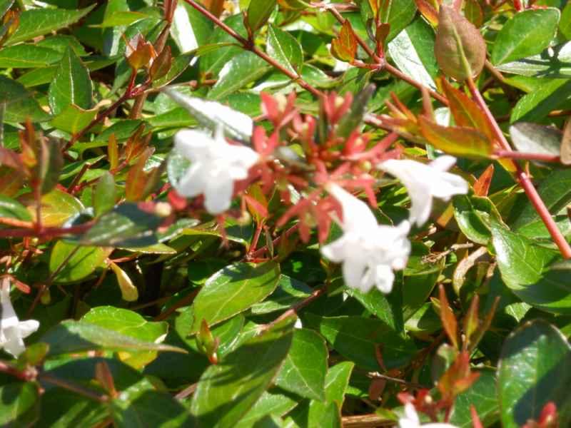 Abelia grandiflora 'Postrata' 2