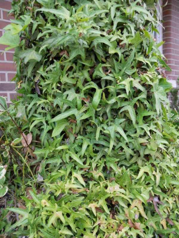 Hedera helix 'Sagittifolia' v 1