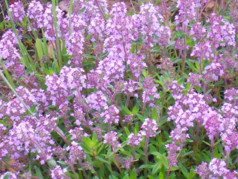 Thymus praecox.. 4