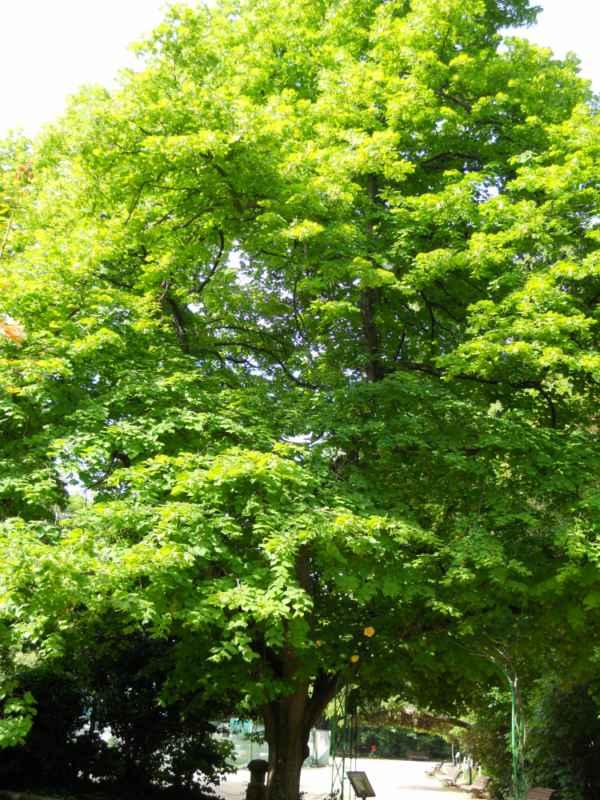 Tilia platyphyllos árbol v 2