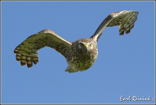 Hawk (Northern Harrier) - 1165
