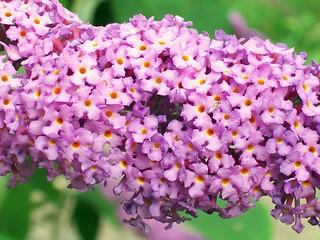 Butterfly-bush (Buddleja davidii) flowers | by Peter O'Connor aka anemoneprojectors