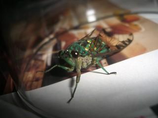 Trapped Cicada #1   by carloscappaticci