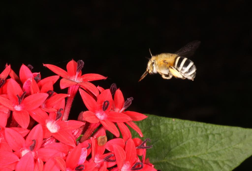 Incoming ordinance - flowers need pollinators! [Amegilla sp. (Apidae), female]