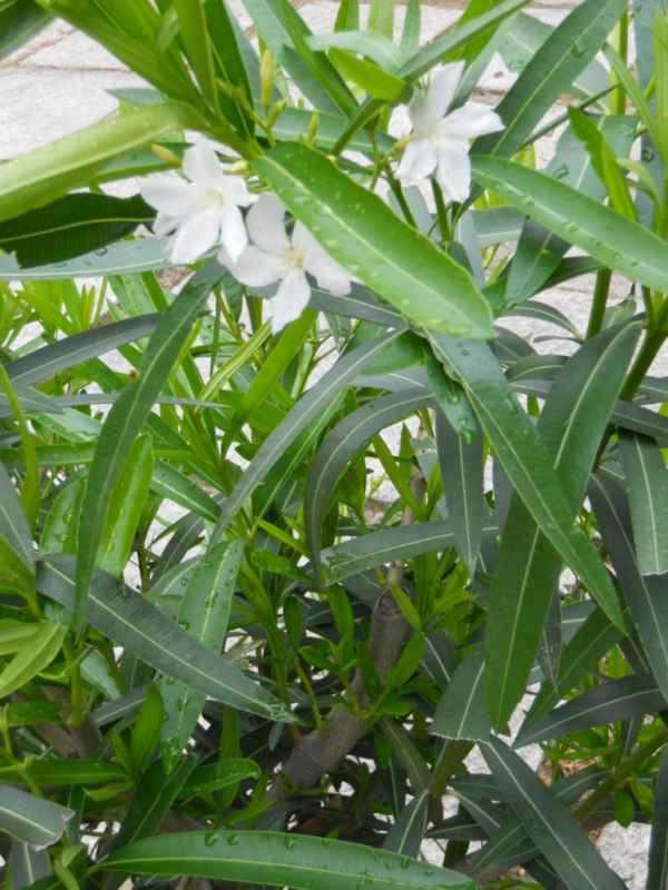Nerium oleander 'Album Maximum' v 1