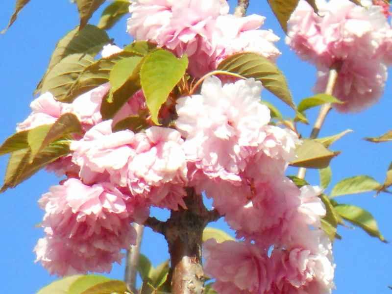 Prunus serrulata 'Kwanzan' 1