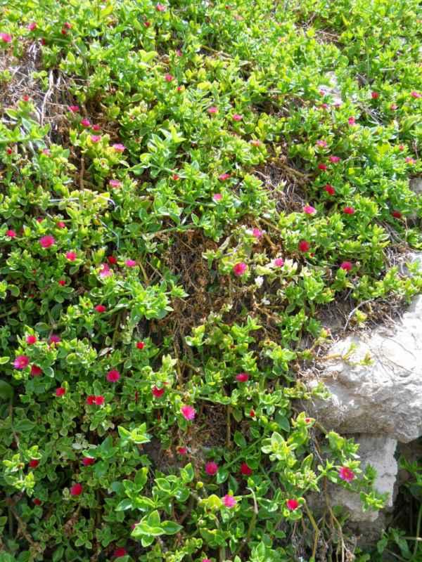 Aptenia cordifolia v 2